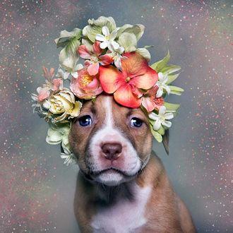 Фото Питбультерьер в венке из цветов, серый в крапинку фон