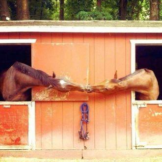 Фото Лошади, находящиеся в соседних стойлах, вытянули шеи и нежно трутся мордами друг о друга. Деревья на заднем плане