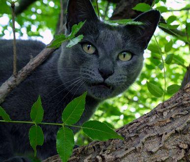 Фото Темно серый кот в ветвях дерева
