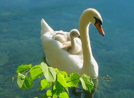 Фото Белый лебедь с птенцами на спине плывет по воде