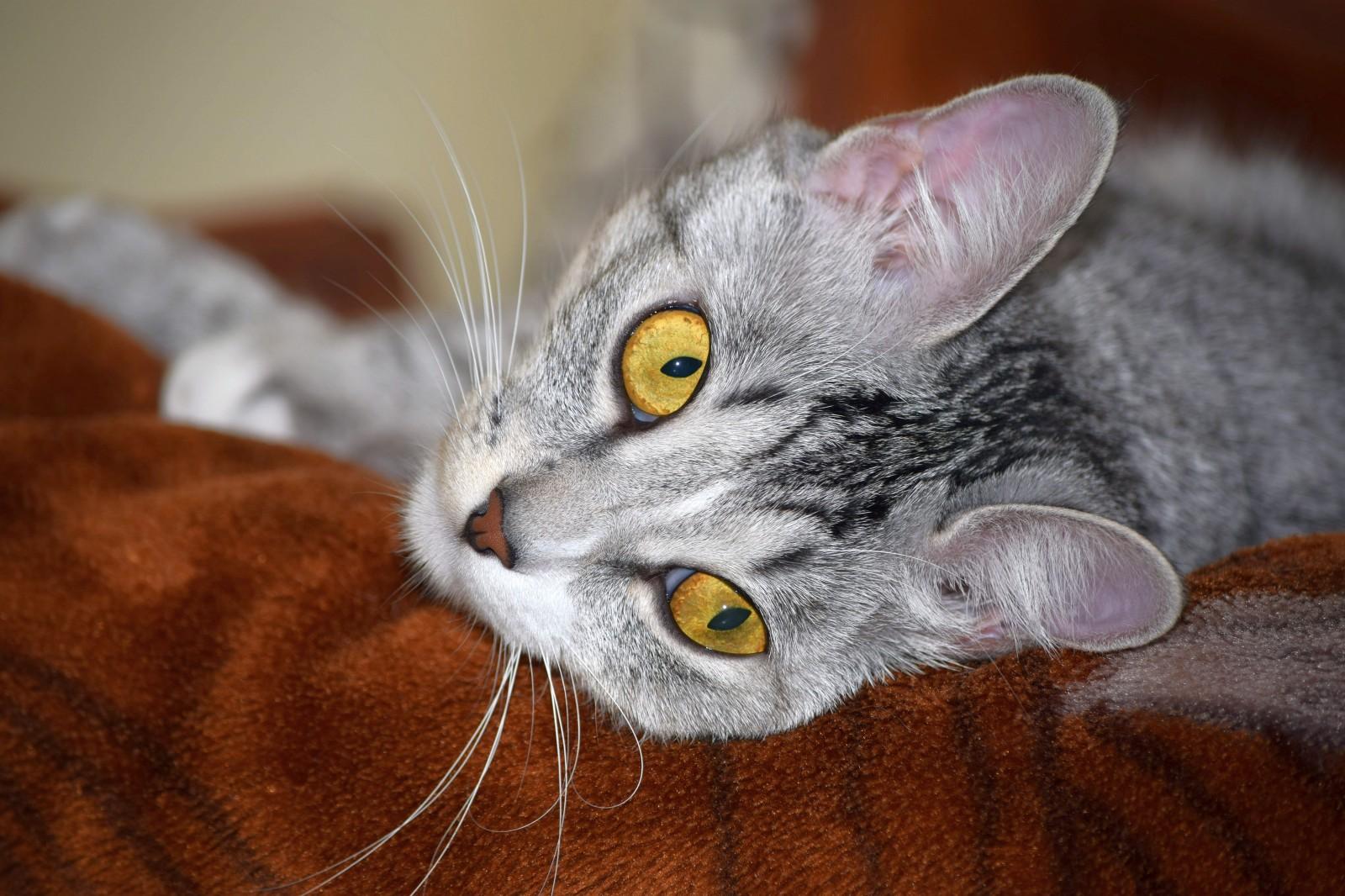 фото серой кошки с желтыми глазами тюль