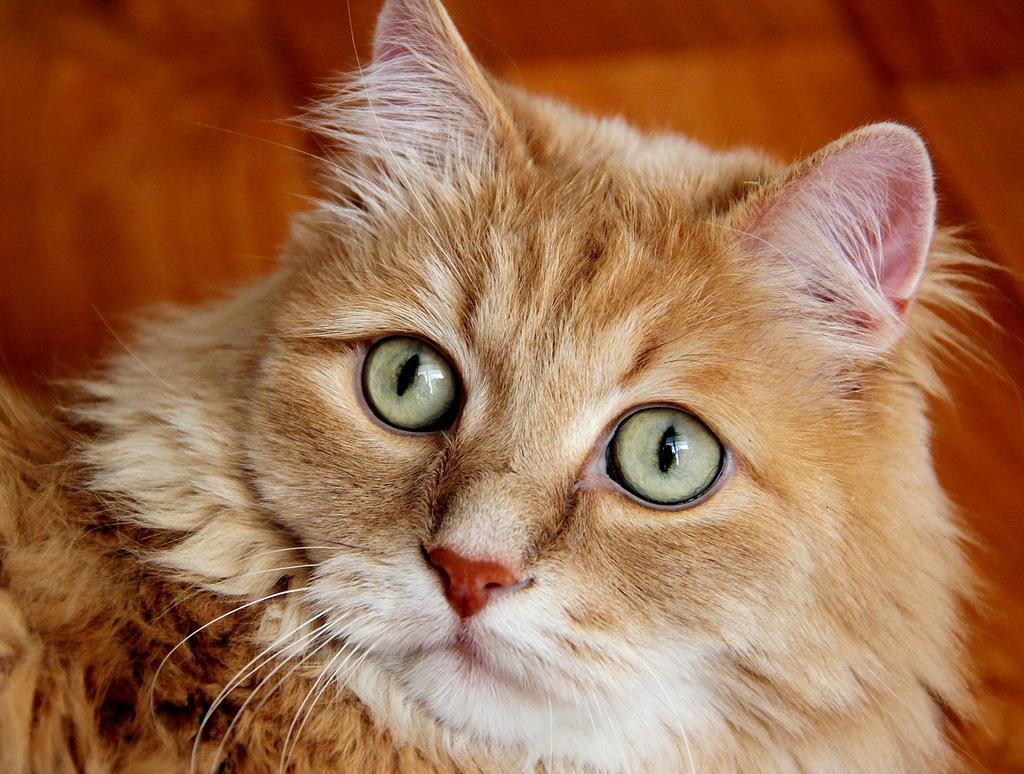 кошки с зелеными глазами фото кремом кусочки