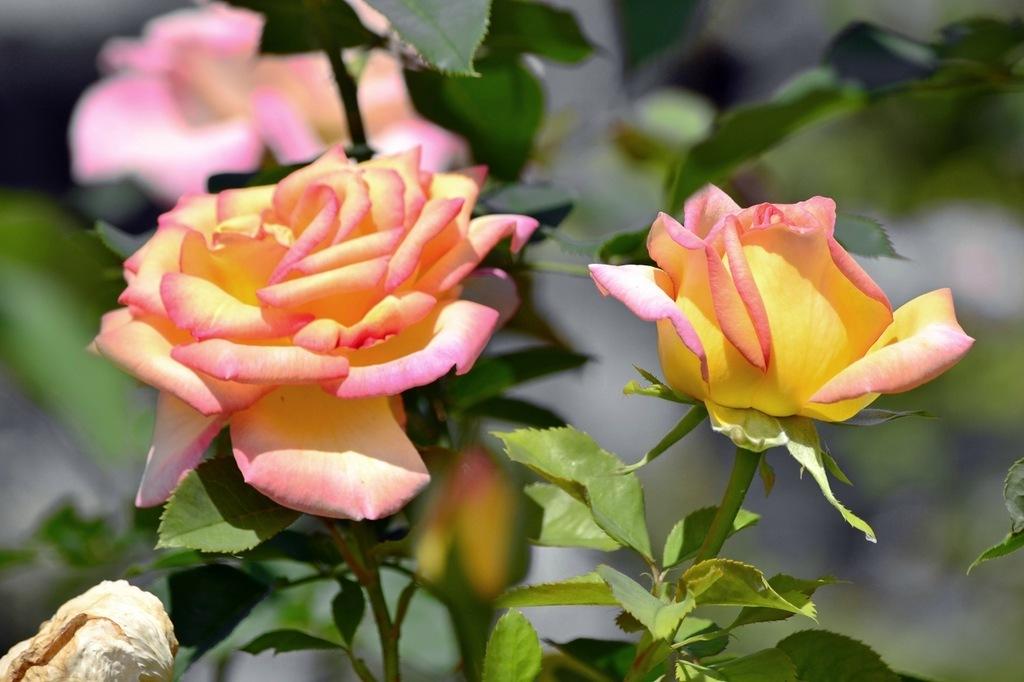 чем приступить желто розовые розы фото настоящее