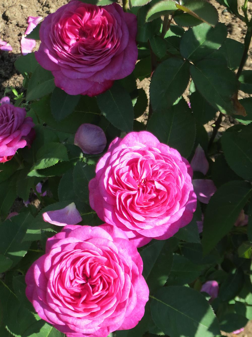 Фото Розовая роза, украшенная белыми цветками