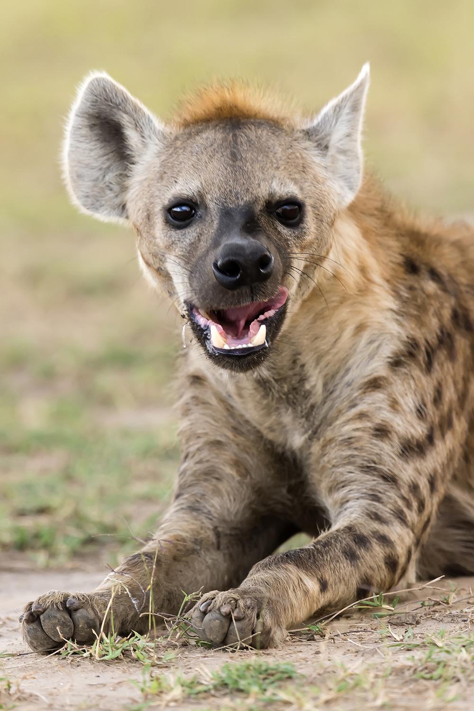 занимались картинки гиена улыбается участие, особенно победа