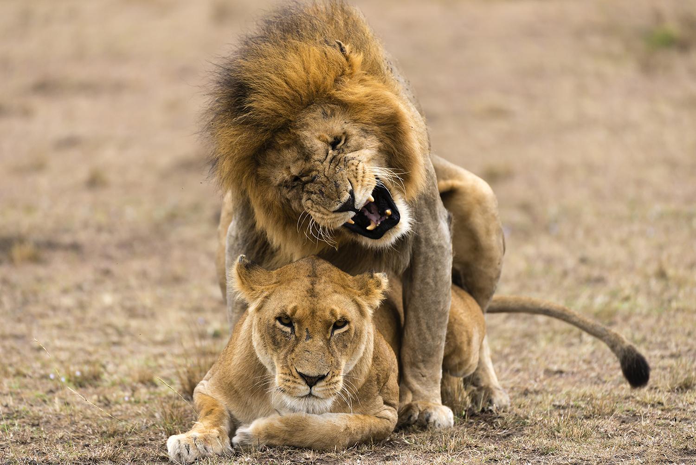 картинки любовные льва и львицы