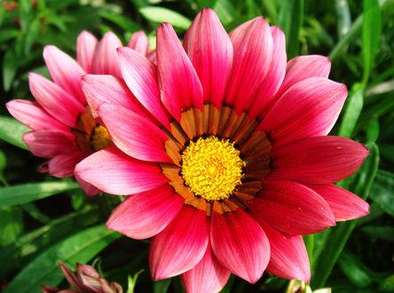 Цветок ромашки желтая фото