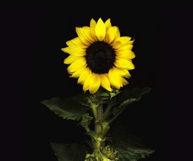 Фото Зрелый цветок подсолнуха на черном фоне