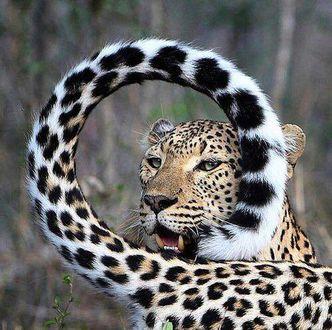 Фото Леопард смотрит сквозь хвост, сделанный кольцом