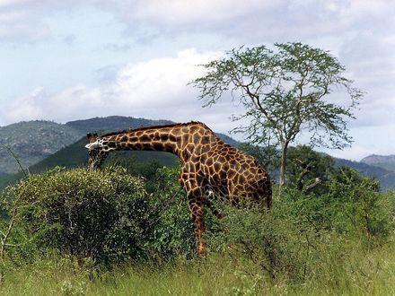 Фото Жираф на фоне неба и гор, by emmess