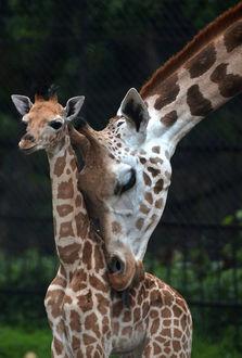 Фото Жираф с детенышем