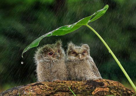Фото Совята скрылись от дождя под большим листом, by Tanto Yensen