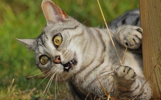 Фото Серый кот крупным планом