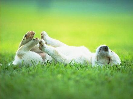 Фото Белая собака лежит в зеленой траве