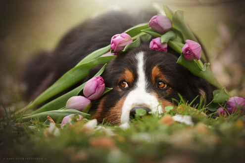 Фото Пес с тюльпанами на нем, фотограф Anne Geier