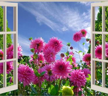 Фото Розовые георгины на фоне открытого окна и неба