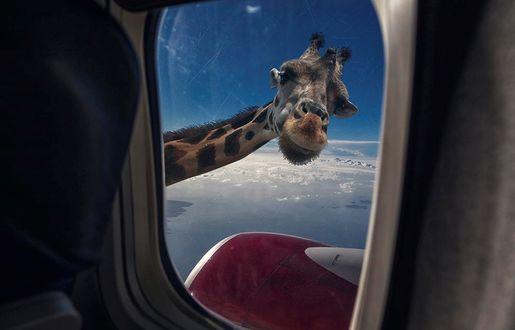 Фото Жираф заглядывает в иллюминатор самолета, Alexander Steger Art