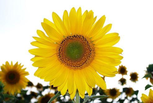 Фото Цветок подсолнуха, by skeeze