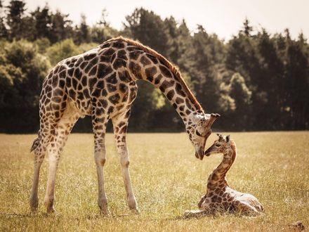 Фото Жираф со своим детенышем