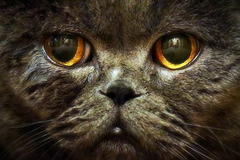 Фото Серый кот с желтыми глазами крупным планом