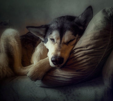 Фото Собака спит, положив голову на подушку