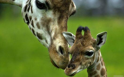 Фото Жираф обнюхивает своего детеныша