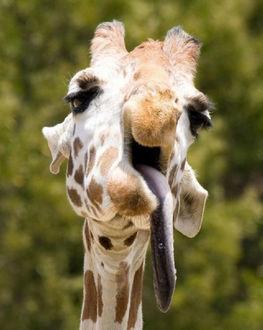 Фото Жираф высунул длинный язык, как - будто дразнится