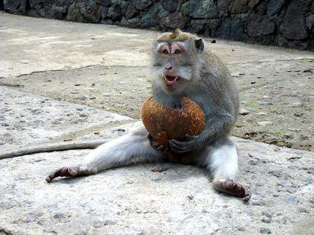 Фото Обезьяна сидит на земле с кокосом в руках