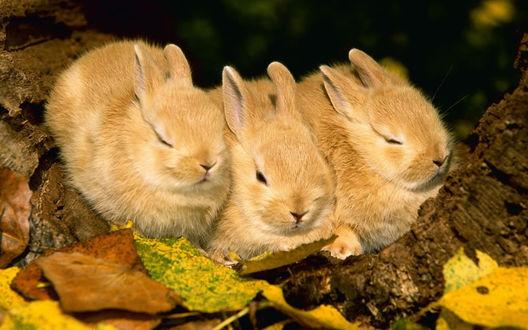 Фото Три кролика сидят на осенней листве