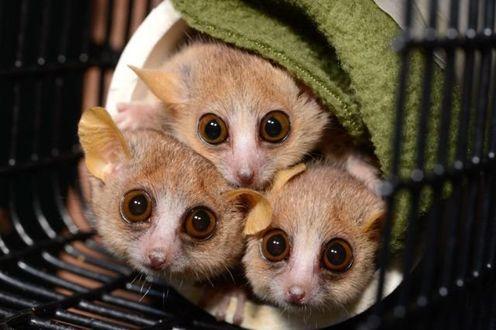 Фото Три серые амазонские мышки с любопытством выглядывают из подобия норки