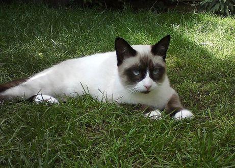 Фото Кошка лежит на траве
