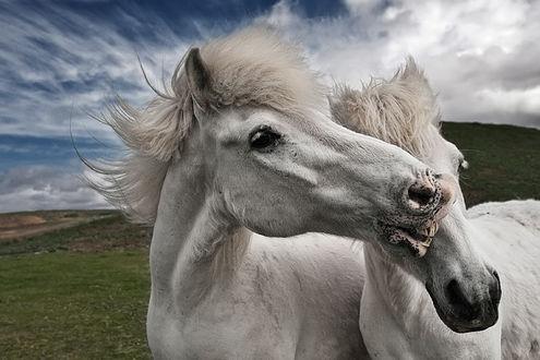 Фото Влюбленные лошади, фотограф Bragi Ingibergsson - BRIN