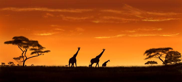 Фото Жирафы в саванне, by agent-juarez