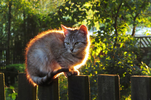 Фото Кошка сидит на заборе, by rosaarvensis