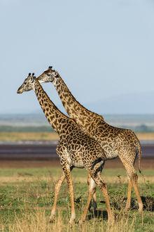 Фото Два жирафа стоят на земле, by artamonoff2009