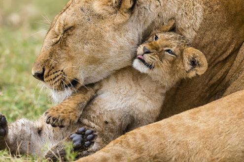 Фото Львенок прижался к маме львице, by artamonoff2009