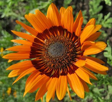 Фото Цветок оранжевого подсолнуха