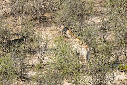Фото Жираф стоит на земле среди кустов, by artamonoff2009