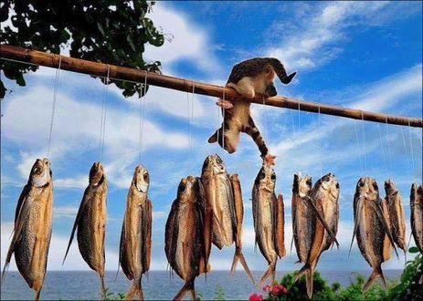 Фото Кот тянется к рыбе, которая сушится