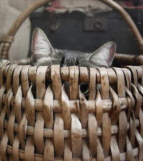 Фото Уши сидящего в корзинке кота, by Csyyt