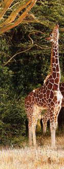 Фото Жираф тянется за веткой, by Simon Combes