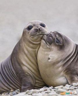 Фото Два тюленя обнимаются