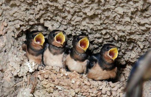 Фото Четыре голодных птенца сидят в дупле, раскрыв клювики