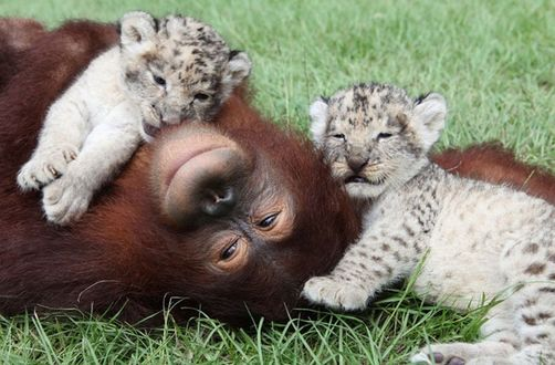 Фото В зоопарке Южной Каролины, США, орангутанг по кличке Ханама стал настоящим отцом для львят
