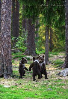Фото Трое маленьких медвежат, встали на задние лапы и, взявшись «за руки» будто танцуют в кругу, финский фотограф Валттери Мулкахайнен / Valtteri Mulkahainen
