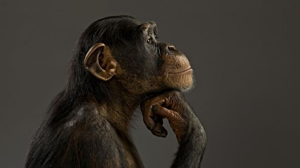 Фото Обезьяна о чем - то задумалась, застыв в позе роденовского мыслителя