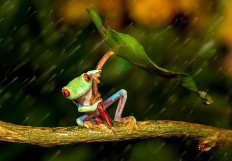 Фото Японская древесная лягушка спряталась под зонтиком из листика