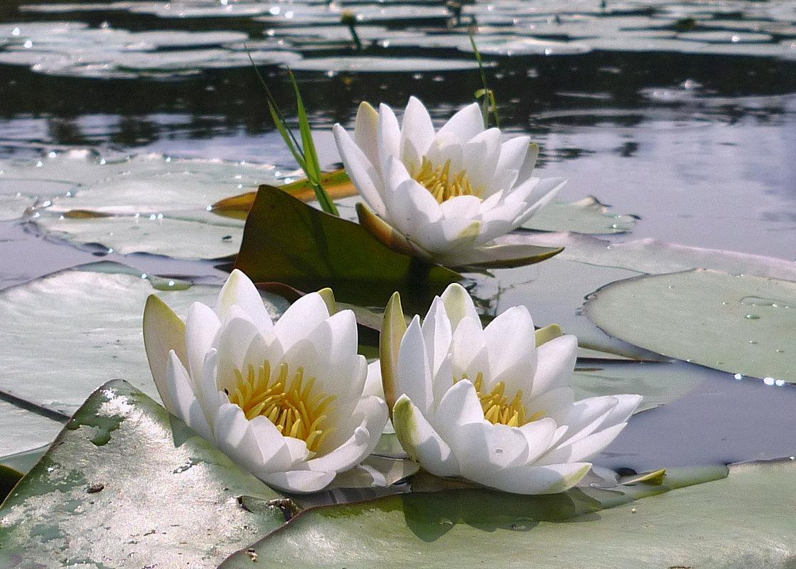Смешные картинки, картинки лилии на воде
