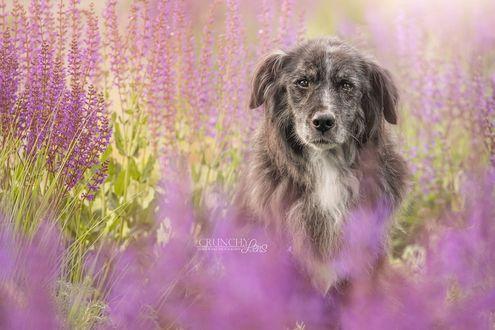 Фото Бело-серый пес сидит в поле среди цветущей лаванды, by Dark Cayden