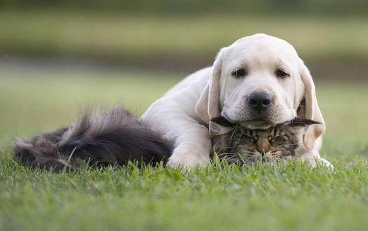 Фото Лабрадор и кошка лежат на траве